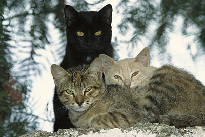 Domestic Cat Felis Catus Group Art Print