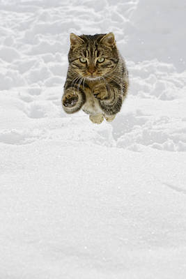 Photograph - Domestic Cat Felis Catus Male Jumping by Konrad Wothe