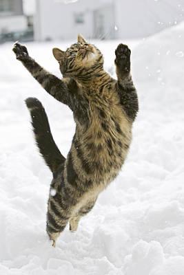 Domestic Cat Felis Catus Male Leaping Art Print