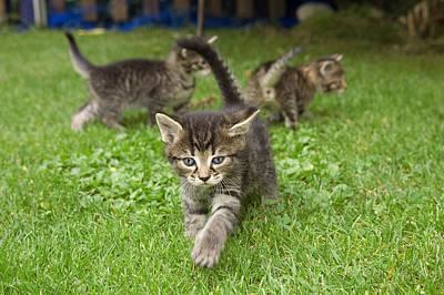 Domestic Cat Felis Catus Three Grey Art Print