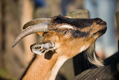 Pointy Ears Photograph - Domestic Goat by Artur Bogacki