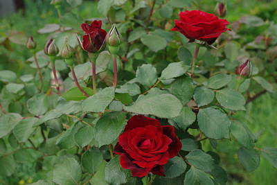 Photograph - Don Juan Red Roses by Robyn Stacey