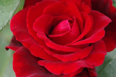 Photograph - Don Juan Rose 1 by Robyn Stacey