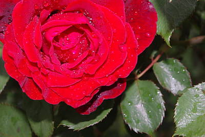 Photograph - Don Juan Rose In The Rain by Robyn Stacey
