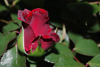 Photograph - Don Juan Rosebud by Robyn Stacey