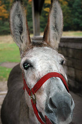 Black Photograph - Donkey All Ears by LeeAnn McLaneGoetz McLaneGoetzStudioLLCcom