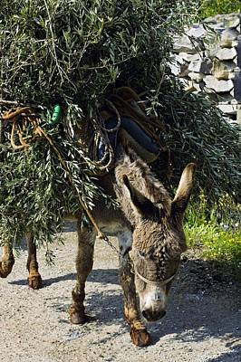 Donkey Carrying Olive Branches Art Print by Bob Gibbons