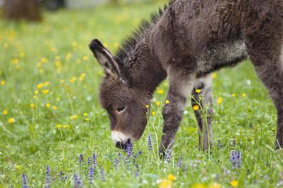 Donkey Equus Asinus Foal Grazing Art Print by Konrad Wothe