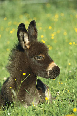 Donkey Equus Asinus Foal Resting Art Print by Konrad Wothe