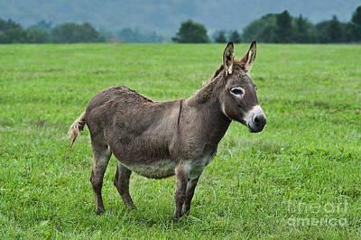 Donkey Art Print by John Greim