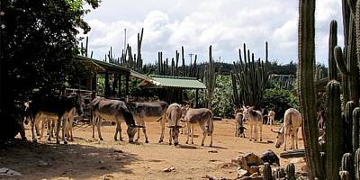Photograph - Donkey Sanctuary Aruba  by Keith Stokes