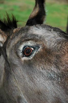 Black Photograph - Donkey Stink Eye by LeeAnn McLaneGoetz McLaneGoetzStudioLLCcom