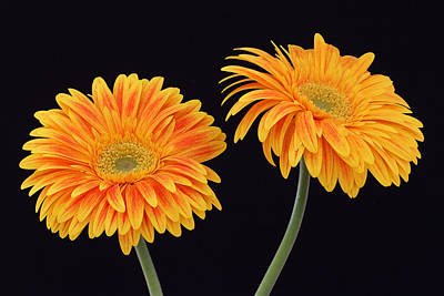 Gerber Daisy Photograph - Doppelgaenger by Juergen Roth