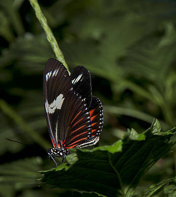 Photograph - Doris-heliconius Doris-red Form by Robin Webster