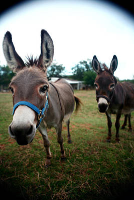 Doting Donkeys Art Print