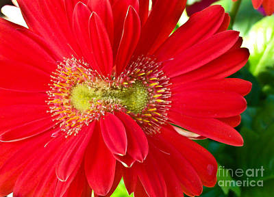 Found Round And About Photograph - Double Bloom Gerbera by Tisha  Clinkenbeard