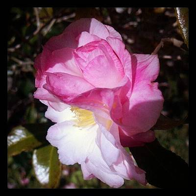 Florals Photograph - Double Blossomed Pink White Camellia by Anne Simon