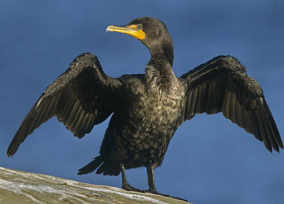 Phalacrocorax Auritus Photograph - Double Crested Cormorant Drying by Tim Fitzharris