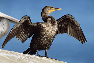 Phalacrocorax Auritus Photograph - Double Crested Cormorant Drying Wings by Tim Fitzharris