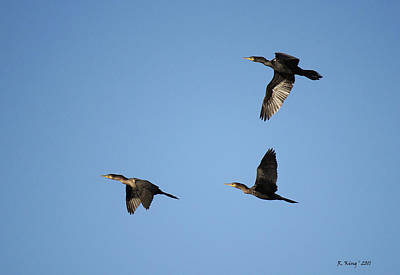 Photograph - Double-crested Cormorant In Flight by Roena King
