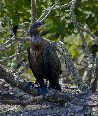 Photograph - Double-crested Cormorant by Michael Friedman