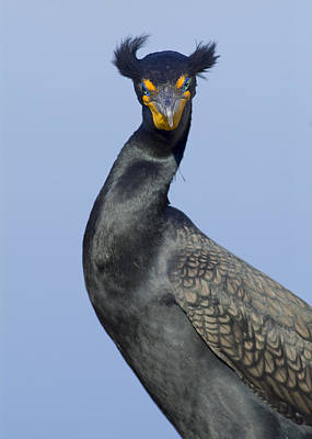 Photograph - Double Crested Cormorant by Patrick M Lynch