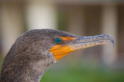 Phalacrocorax Auritus Photograph - Double-crested Cormorant by Rich Leighton