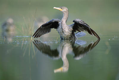 Phalacrocorax Auritus Photograph - Double Crested Cormorant Stretching by Tim Fitzharris