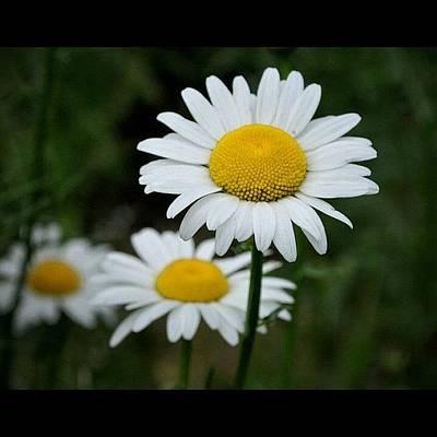 Daisies Photograph - Double Daisy by Molly Slater Jones