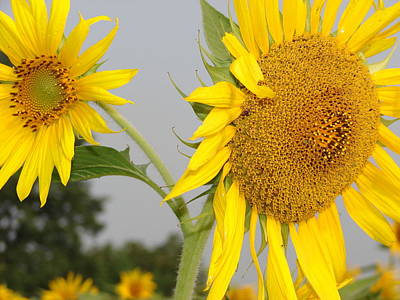 Sunflowers Photograph - Double Delight Sunflowers by Cynthia Templin