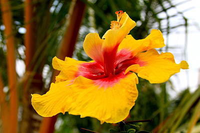 Photograph - Double Hula Girl Hibiscus  by Karon Melillo DeVega