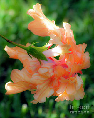 Photograph - Double Peach Hibiscus Four by Ken Frischkorn