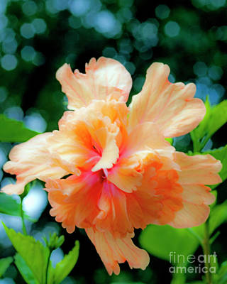 Photograph - Double Peach Hibiscus One by Ken Frischkorn