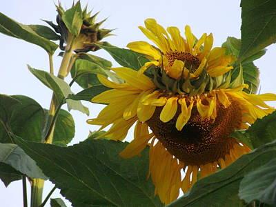 Digital Sunflower Drawing - Double Sunflower by Jennifer Griffen