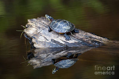 Photograph - Turtle Reflection by Glenn Gordon