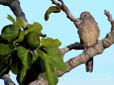 Photograph - Dove On A Fig Tree by Bette Phelan