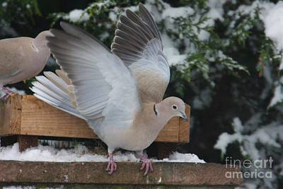 Dove On The Wing Art Print