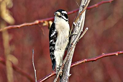 Photograph - Downy Woodpecker 6 by Joe Faherty