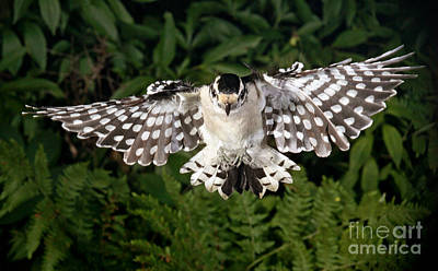 Picoides Pubescens Photograph - Downy Woodpecker In Flight by Ted Kinsman