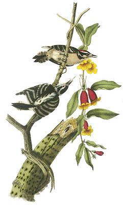 Woodpecker Painting - Downy Woodpecker by John James Audubon
