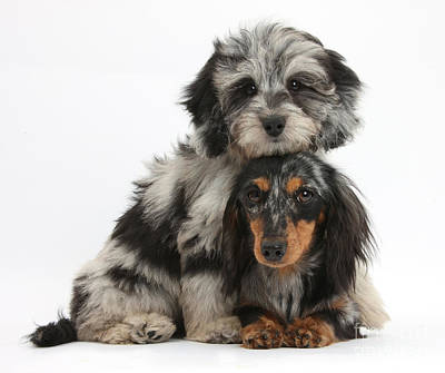 Photograph - Doxie-doodle And Dachshund Puppies by Mark Taylor