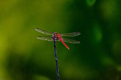 Dragon Fly At Rest Art Print by David Alexander