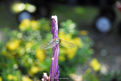 Insects Photograph - Dragon Fly Bow  by G Adam Orosco