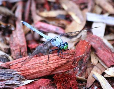 Photograph - Dragon Fly by Jeanne Andrews