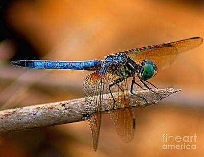 Photograph - Dragon Fly by Nick Zelinsky