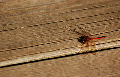 Dinosaur Photograph - Dragon Fly Of Red by LeeAnn McLaneGoetz McLaneGoetzStudioLLCcom