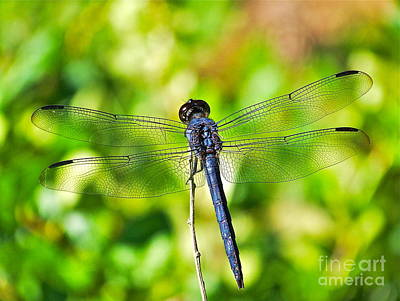 Photograph - Dragon Fly Spread by Eve Spring
