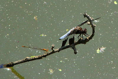 Photograph - Dragon Fly's by Deborah  Crew-Johnson