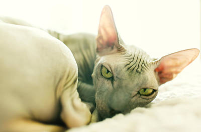 Hairless Cat Photograph - Dragon Sphinx Cat by With love of photography