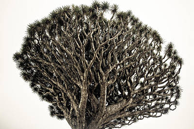 Photograph - Dragon Tree by Justin Albrecht
